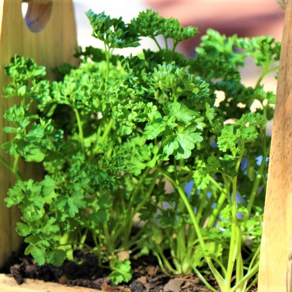 70064369 - Wooden box with Italian Parsley (3)