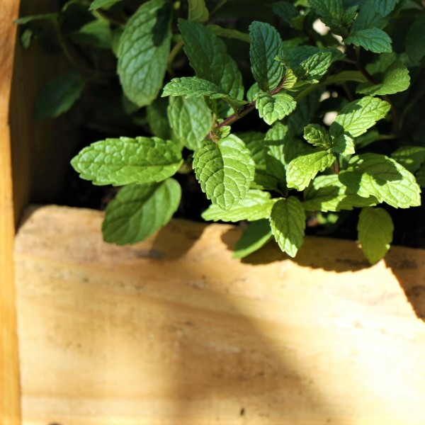 70064372 - Wooden box with Mint Julep (4)