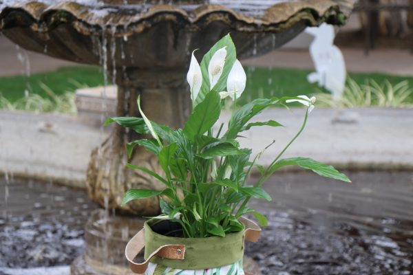 70065256 - Peace Lily (3)